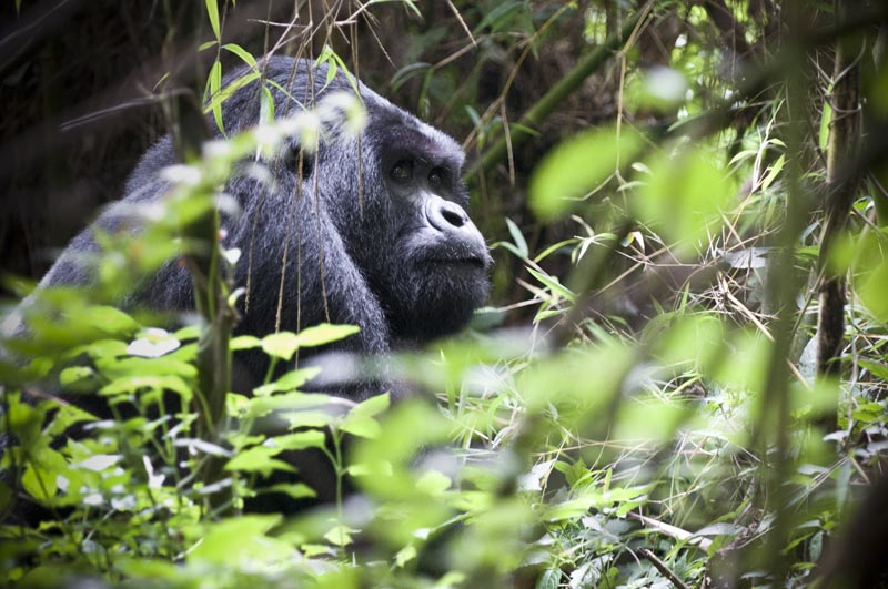A male silverback gorilla in the jungle in Rwanda.